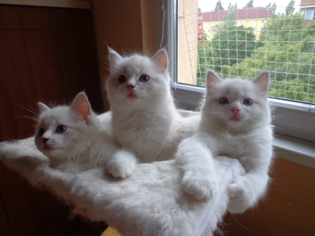 Cats For Sale in Mirfield West Yorkshire Classifieds Free Ads