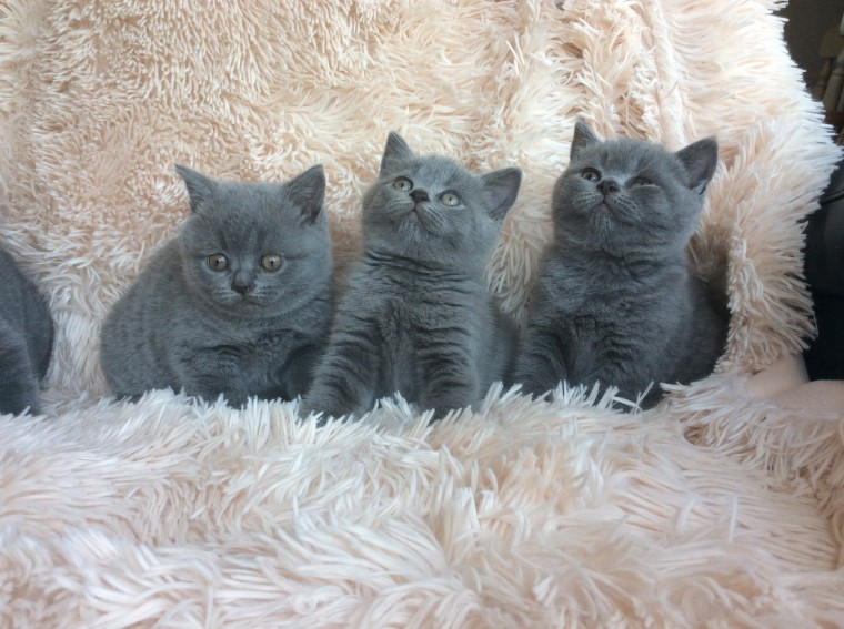 Blue Kittens For Sale : Colney heath kittens for sale classifieds free ads hertfordshire