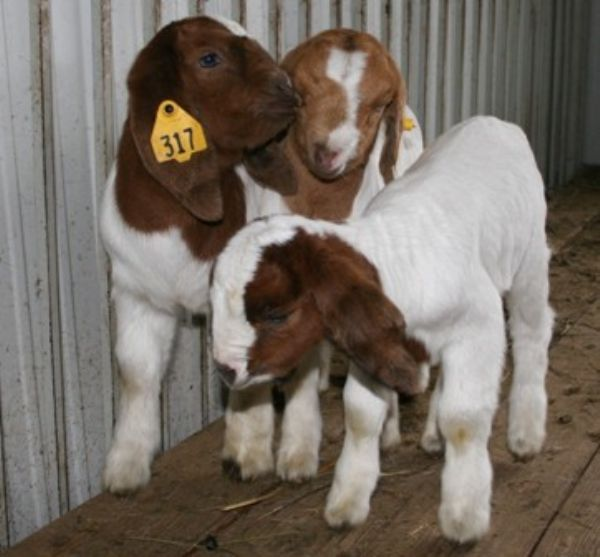 Goat For Sale in Hertford Hertfordshire Classifieds Free Ads