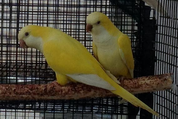 Birds For Sale in Partington Greater Manchester Classifieds