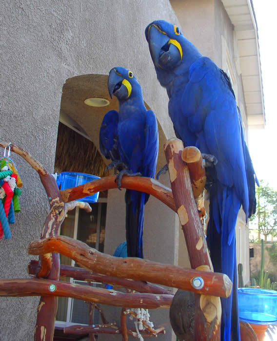 Parrots For Sale in Amersham On The Hill Buckinghamshire Classifieds