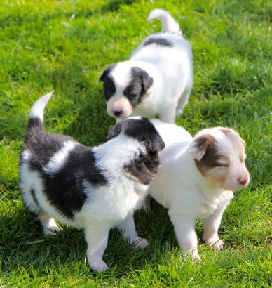 Dogs For Sale in Market Rasen Lincolnshire Classifieds Free Ads